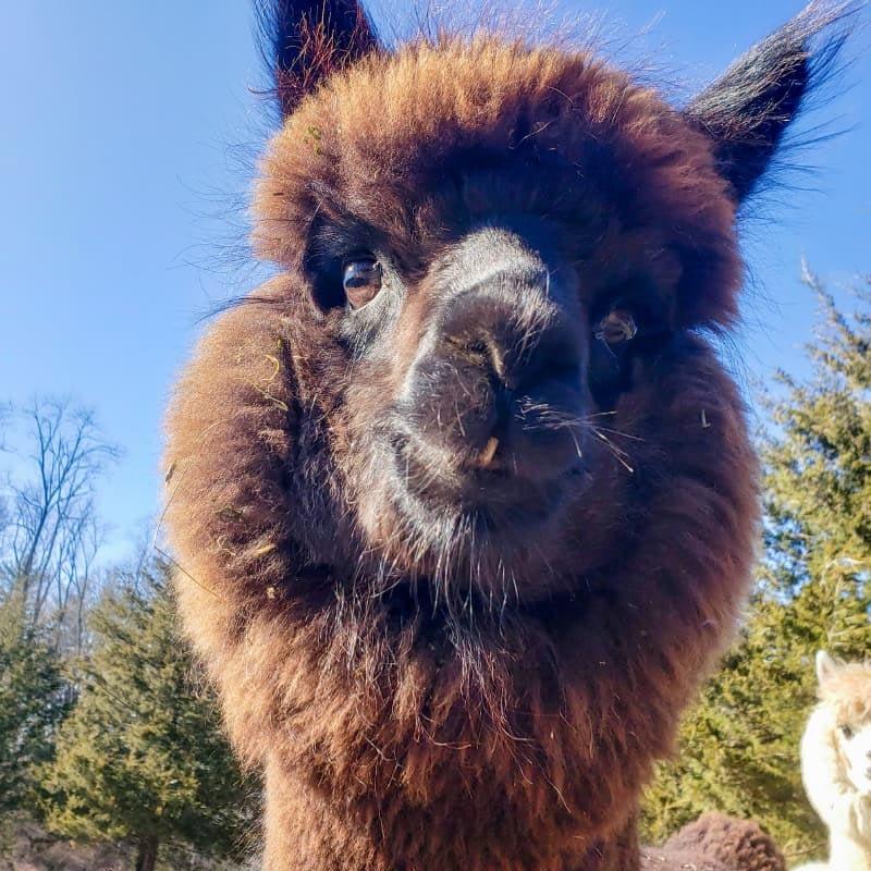 Perkins the alpaca
