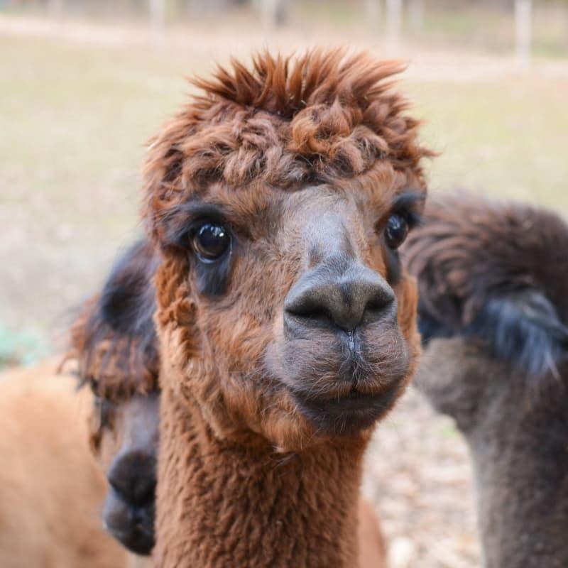 Gracie the alpaca