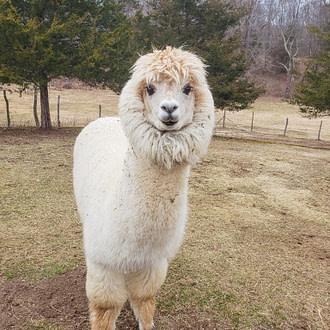 Gabriel the Alpaca