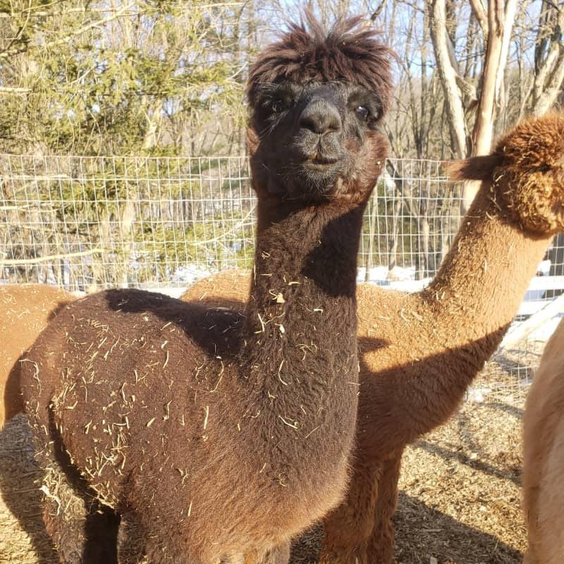 Tralyn the alpaca