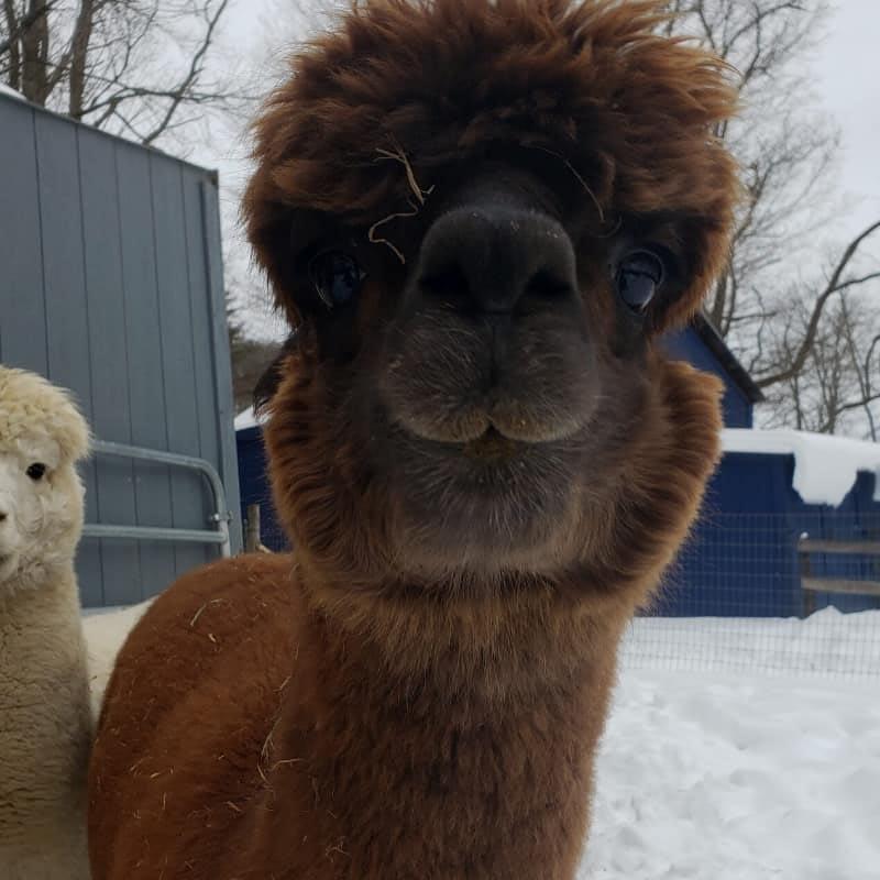 Hazel the alpaca