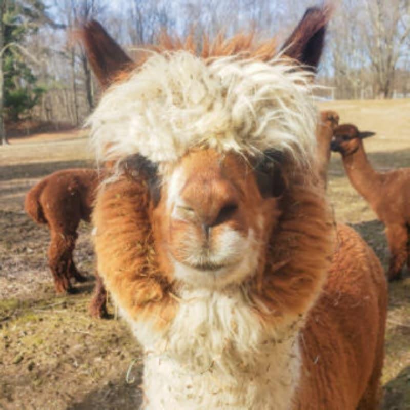 Annie the alpaca