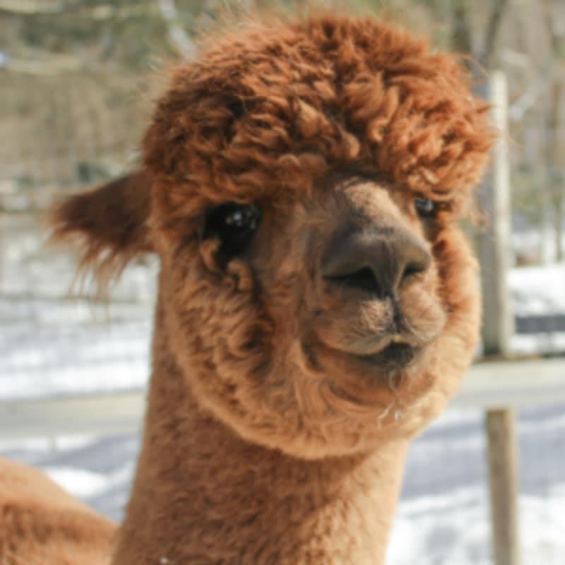 Cassie the alpaca