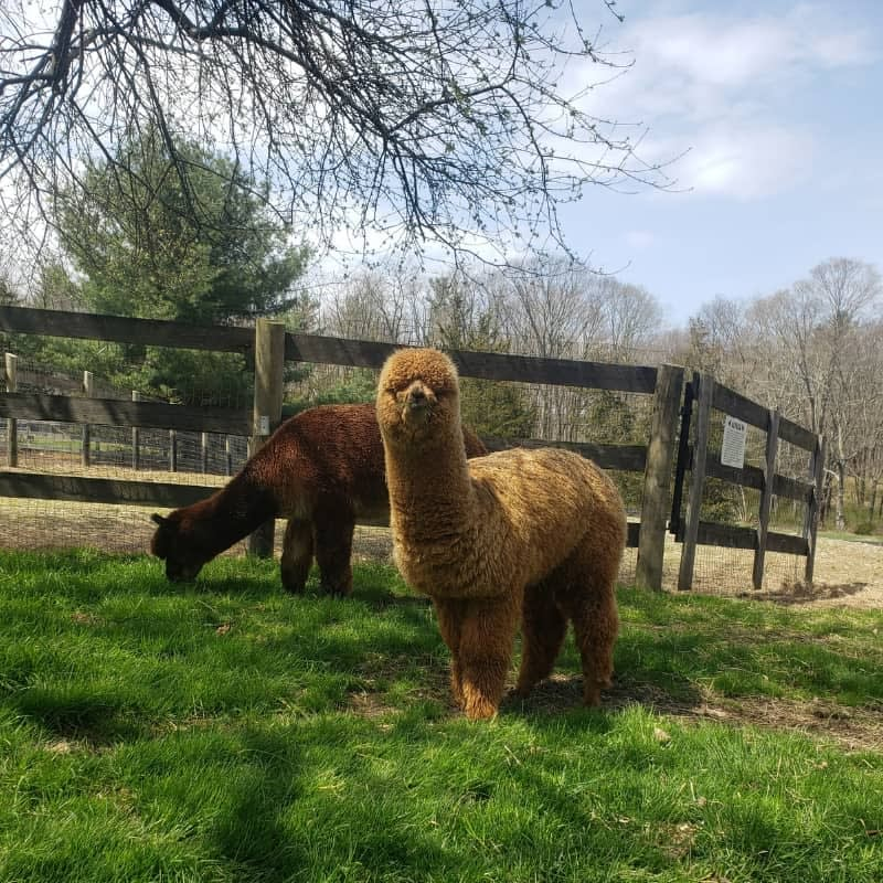 Rex the alpaca