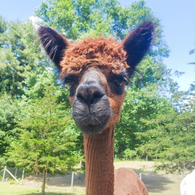Lilah Rose the alpaca