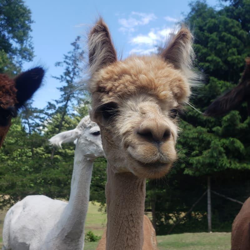 Melina the alpaca