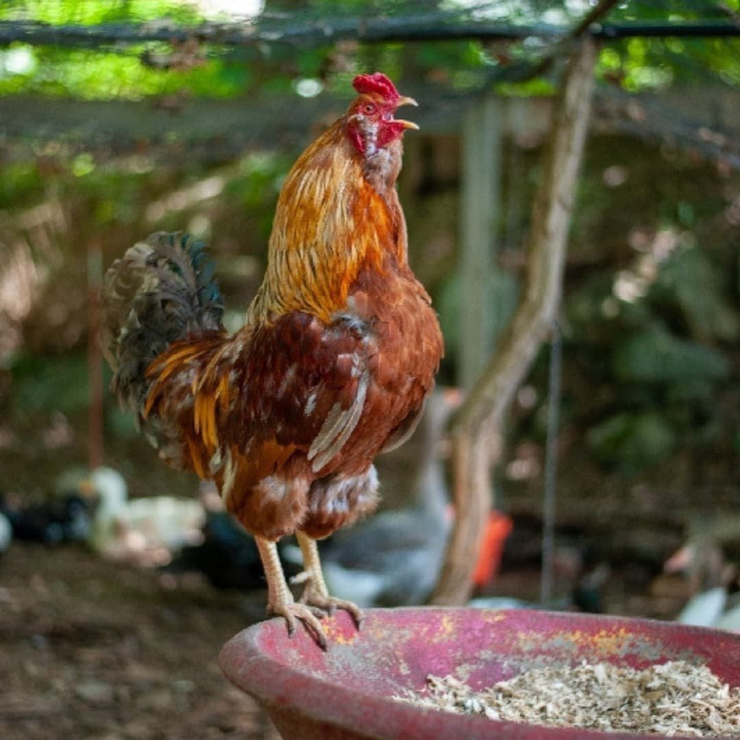 rooster at an animal sanctuary