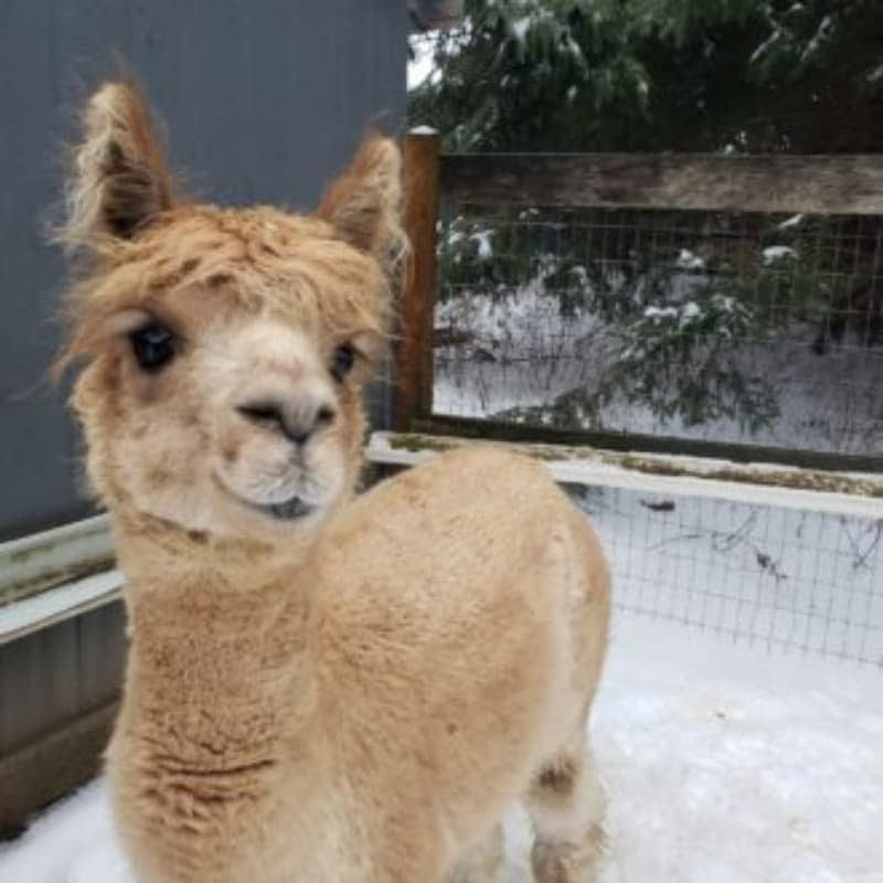 Honey the alpaca