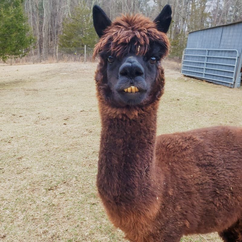 Forest the alpaca